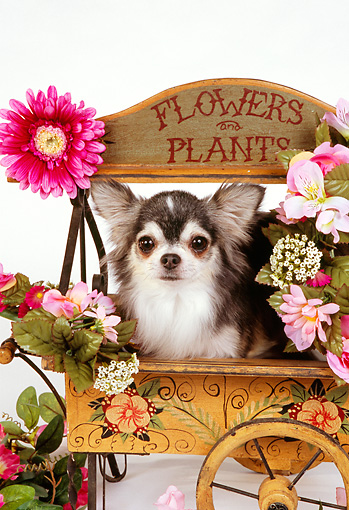 DOG 05 RK0293 09 © Kimball Stock Long-haired Chihuahua Sitting In Flower Cart White Seamless