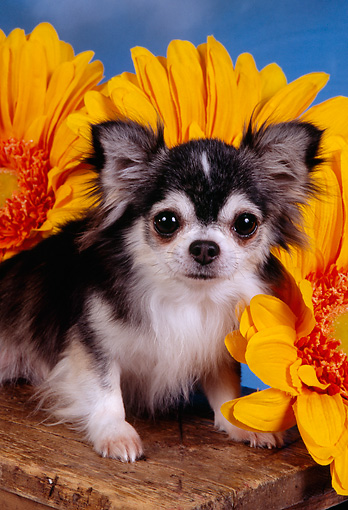 DOG 05 RK0295 03 © Kimball Stock Close Up Of Multi Color Longhair Chihuahua By Big Sunflowers