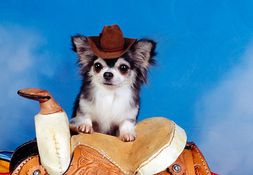 DOG 05 RK0303 12 © Kimball Stock Long-haired Chihuahua Wearing Cowboy Hat Sitting On Saddle