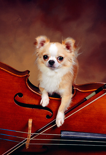DOG 05 RK0304 06 © Kimball Stock Gold And White Long-haired Chihuahua Laying On Cello Brown Background