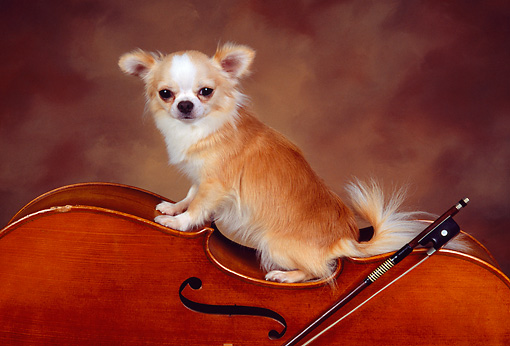 DOG 05 RK0305 03 © Kimball Stock Gold And White Long-haired Chihuahua Sitting On Cello Brown Background