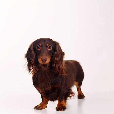 DOG 05 RS0009 05 © Kimball Stock Portrait Of A Longhair Dachshund White Background