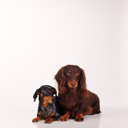 DOG 05 RS0010 01 © Kimball Stock Portrait Of Dachshund Longhair And Shorthair White Background
