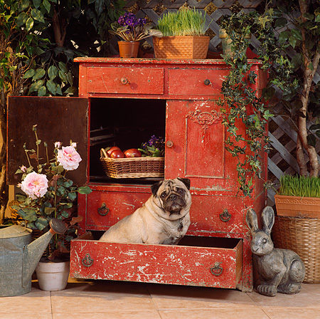 DOG 05 RS0013 03 © Kimball Stock Pug Sitting In Garden Cabinet