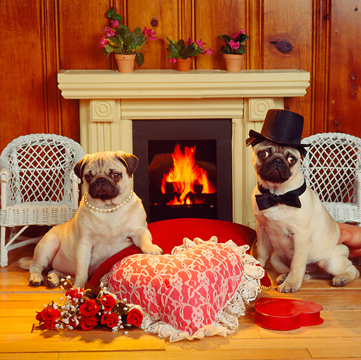 DOG 05 RS0023 01 © Kimball Stock Bride And Groom Pug By Fireplace