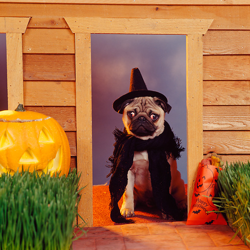 DOG 05 RS0038 04 © Kimball Stock Pug Dressed In Witch Costume By Pumpkin