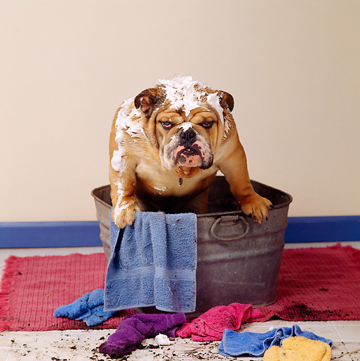 DOG 05 RS0052 01 © Kimball Stock Bulldog Sitting In Washtub