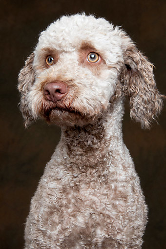 DOG 06 AC0004 01 © Kimball Stock Lagotto Romagnolo Portrait In Studio