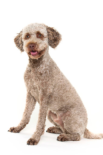 DOG 06 AC0006 01 © Kimball Stock Lagotto Romagnolo Portrait In Studio