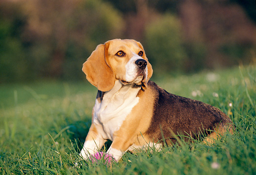 DOG 06 CB0011 01 © Kimball Stock Portrait Of Beagle Sitting In Grass With Pink Ball