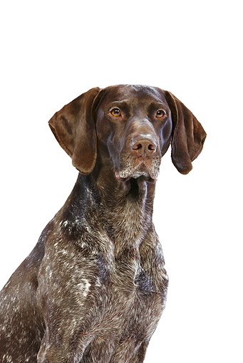 DOG 06 CB0040 01 © Kimball Stock Portrait Of German Shorthaired Pointer On White Seamless