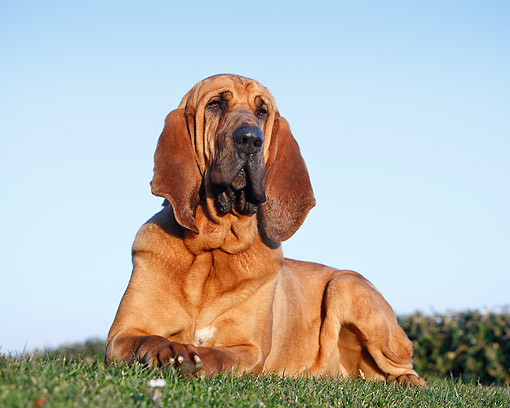 DOG 06 CB0059 01 © Kimball Stock Bloodhound Laying In Grass