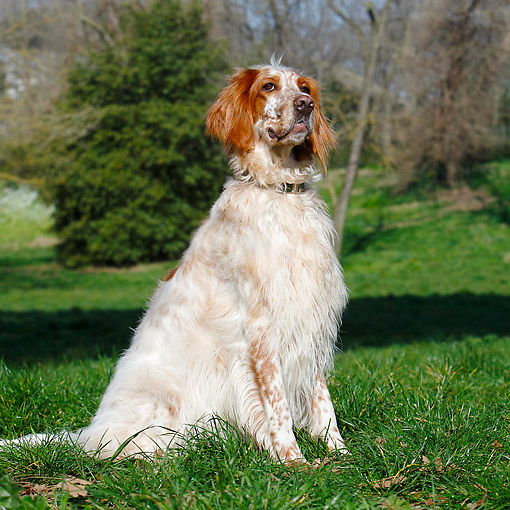 DOG 06 CB0060 01 © Kimball Stock English Setter Sitting In Grass
