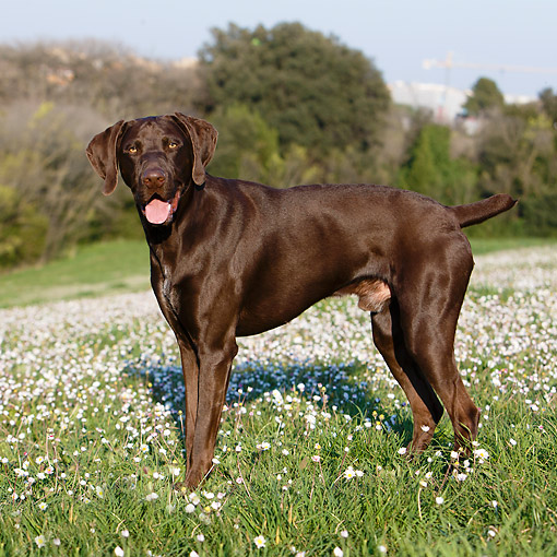DOG 06 CB0061 01 © Kimball Stock German Shorthair Pointer Standing In Grass With Flowers