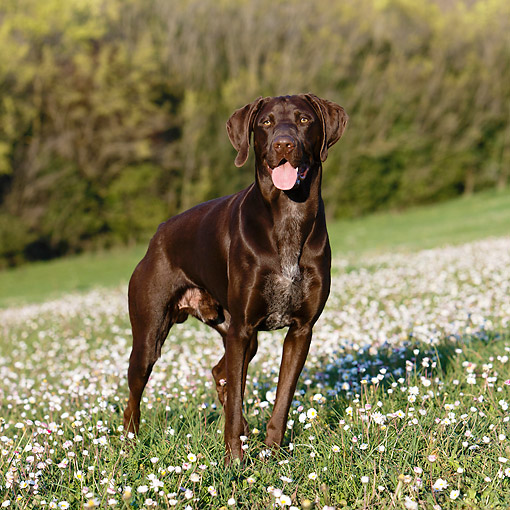 DOG 06 CB0062 01 © Kimball Stock German Shorthair Pointer Standing In Grass With Flowers