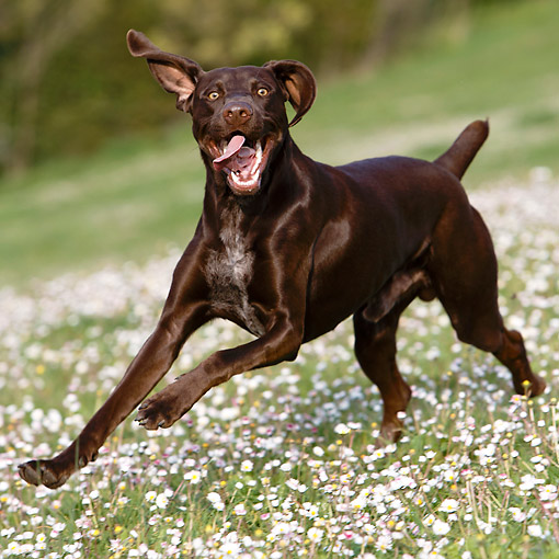 DOG 06 CB0064 01 © Kimball Stock German Shorthair Pointer Running In Grass With Flowers