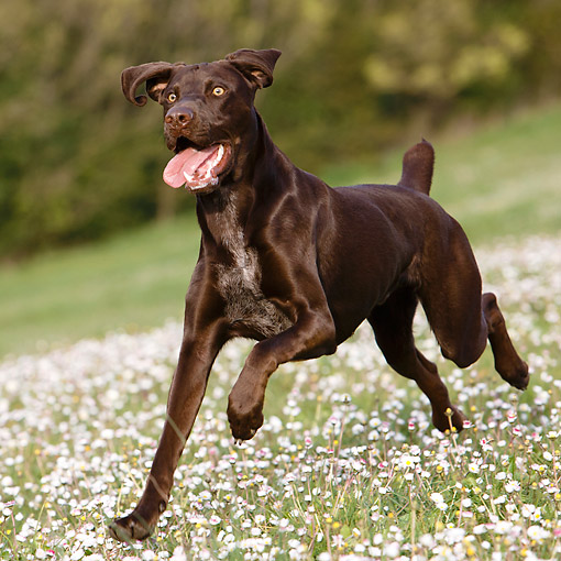 DOG 06 CB0065 01 © Kimball Stock German Shorthair Pointer Running In Grass With Flowers