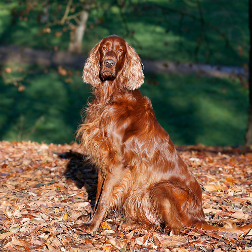 DOG 06 CB0067 01 © Kimball Stock Irish Setter Sitting In Leaves