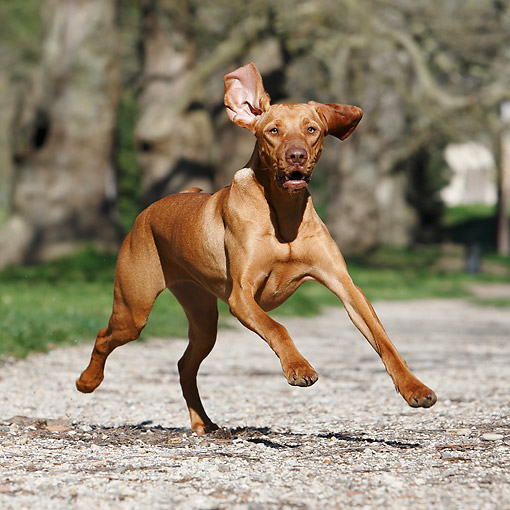 DOG 06 CB0070 01 © Kimball Stock Vizsla Running