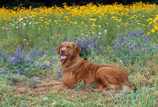 DOG 06 CE0072 01 © Kimball Stock Chesapeake Bay Retriever Laying In Grass By Lavender And Yellow Flowers