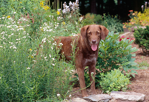 DOG 06 CE0073 01 © Kimball Stock Chesapeake Bay Retriever Standing In Garden