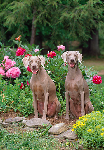 DOG 06 CE0076 01 © Kimball Stock Weimaraners Sitting In Garden