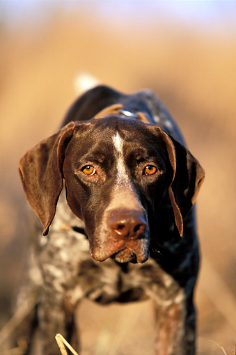DOG 06 DB0004 01 © Kimball Stock Head On View Of German Shorthaired Pointer Standing In Field
