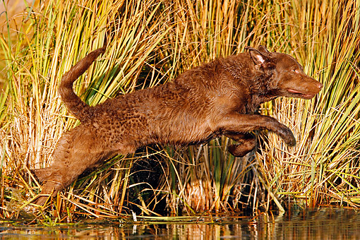 DOG 06 DB0023 01 © Kimball Stock Chesapeake Bay Retriever Leaping Into Water