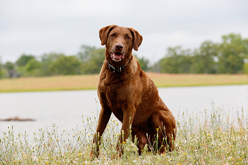 DOG 06 DB0025 01 © Kimball Stock Chesapeake Bay Retriever Sitting By Lake