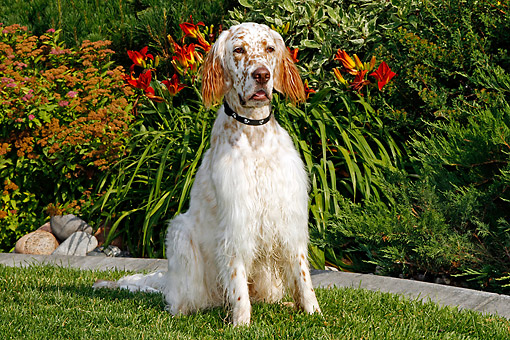 DOG 06 DB0029 01 © Kimball Stock English Setter Sitting In Field