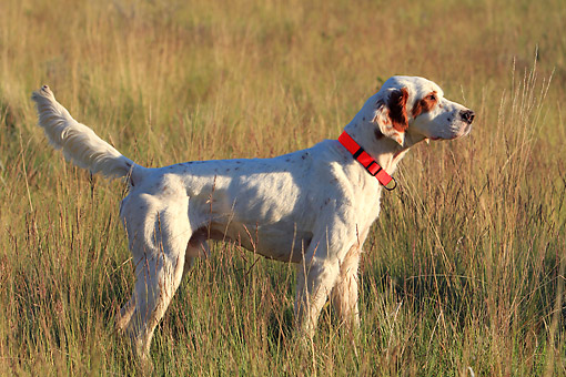 DOG 06 DB0030 01 © Kimball Stock English Setter Standing In Field