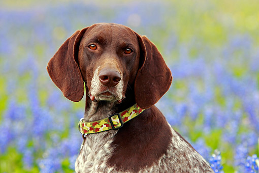 DOG 06 DB0034 01 © Kimball Stock German Shorthair Pointer Portrait By Purple Flowers