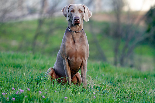 DOG 06 DB0036 01 © Kimball Stock Weimaraner Sitting In Grass