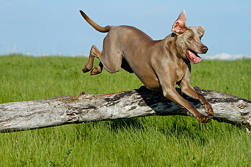 DOG 06 DB0038 01 © Kimball Stock Weimaraner Jumping Over Log In Grass