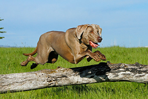 DOG 06 DB0039 01 © Kimball Stock Weimaraner Jumping Over Log In Grass