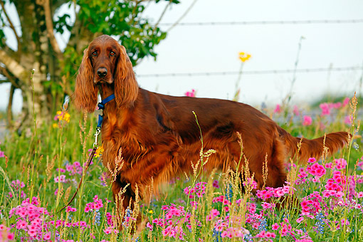 DOG 06 DB0048 01 © Kimball Stock Irish Setter Standing In Flowers By Fence