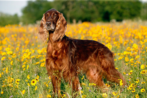 DOG 06 DB0049 01 © Kimball Stock Irish Setter Standing In Flowers