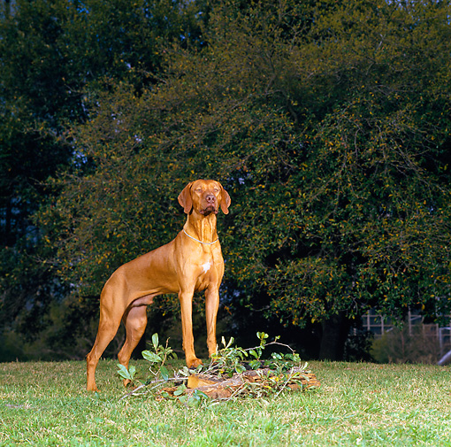 DOG 06 DC0035 01 © Kimball Stock Portrait Of Rhodesian Ridgeback On Grass Trees Background