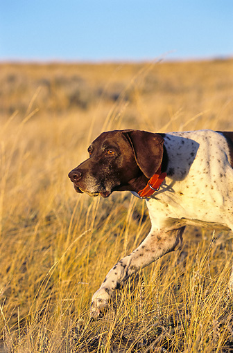 DOG 06 DS0013 01 © Kimball Stock Portrait Of German Shorthaired Pointer Walking Through Dry Grass