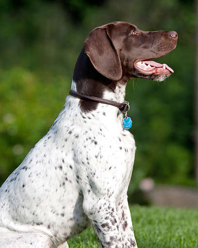 DOG 06 DS0015 01 © Kimball Stock Portrait Of German Shorthaired Pointer Sitting On Grass