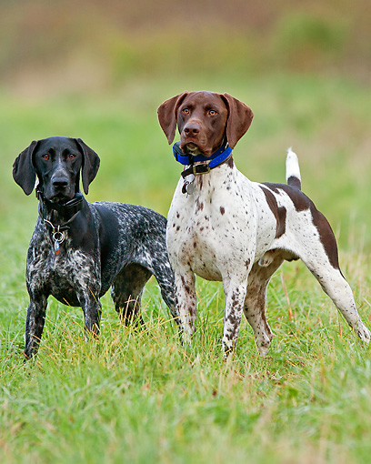 DOG 06 DS0018 01 © Kimball Stock Two German Shorthaired Pointers Standing In Grass