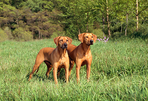 DOG 06 FA0001 01 © Kimball Stock Two Rhodesian Ridgebacks Standing In Field By Trees