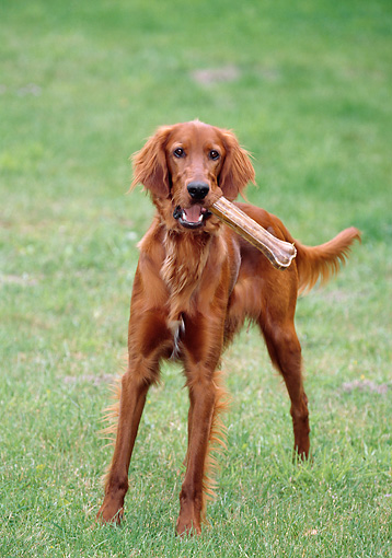 DOG 06 GL0001 01 © Kimball Stock Irish Setter Standing On Grass Field With Bone In Mouth