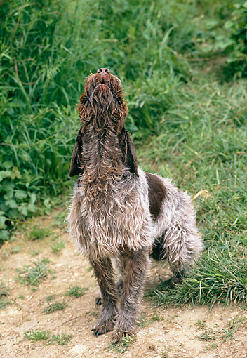 DOG 06 GL0002 01 © Kimball Stock Wirehaired Pointing Griffon Howling On Grass