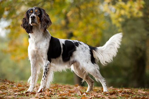 DOG 06 JE0003 01 © Kimball Stock English Setter Standing On Grass And Fallen Leaves
