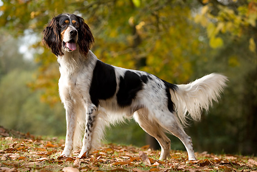 DOG 06 JE0004 01 © Kimball Stock English Setter Standing On Grass And Fallen Leaves