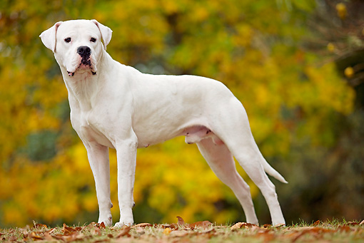 DOG 06 JE0005 01 © Kimball Stock Dogo Argentino Standing On Fallen Leaves