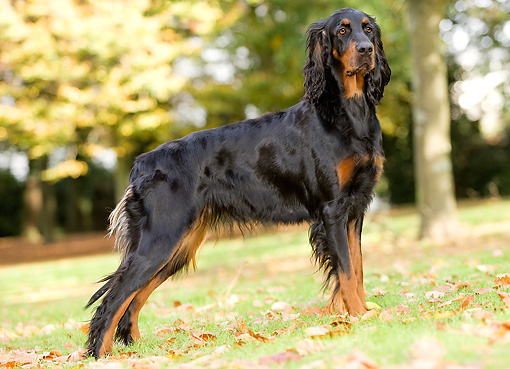 DOG 06 JE0006 01 © Kimball Stock Gordon Setter Standing On Grass And Fallen Leaves