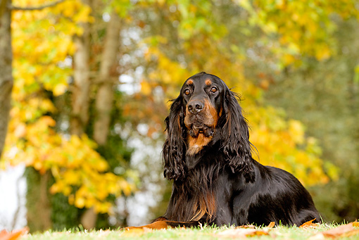 DOG 06 JE0007 01 © Kimball Stock Gordon Setter Laying On Grass And Fallen Leaves