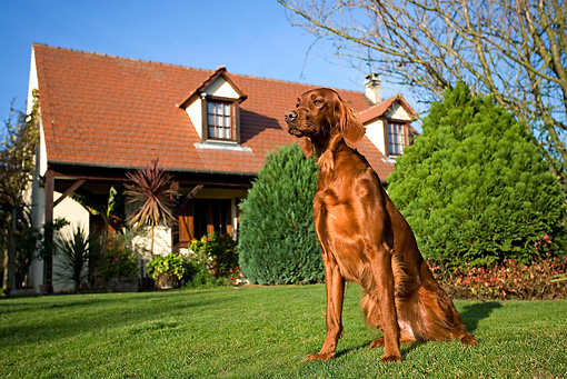 DOG 06 JE0025 01 © Kimball Stock Irish Setter Sitting On Lawn In Front Of House
